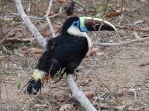 A channel-billed toucan