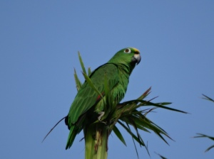A yellow-crowned Amazon parrot