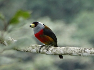 A toucan barbet, an endemic bird and an avian beauty