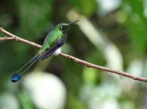 Booted racquet tail hummingbird