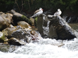 Torrent ducks on the Guano River near the hot springs resort of Papallacta, about 40 miles east of Quito.