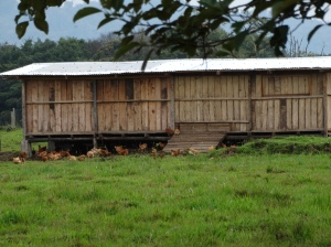Free range chickens outside their hen house.