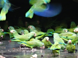 A blur of blue wings as parakeets take off and land at the clay lick