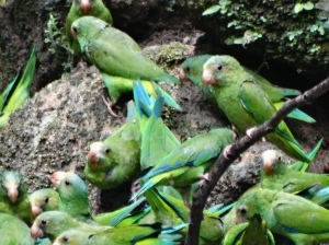 Parakeets waiting their turn at the clay lick