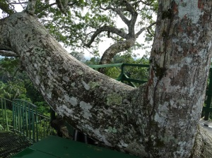 An arm of the majestic and ancient saba tree