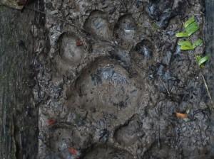 Fresh puma tracks in the Ecuadorean Amazon