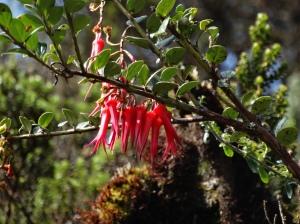 One of dozens of fuchsia species I saw in Ecuador and Peru