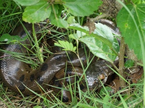 An anaconda, napping outside my cabin at Napo Wildlife Center