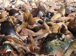 Sea lions on the rocks in the Ballesta Islands of Peru