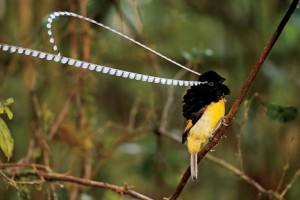 The King of Saxony Bird of Paradise, one of my all time favorites that I saw