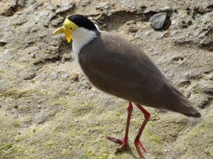 A Masked Lapwing on the mud flats in Cairns