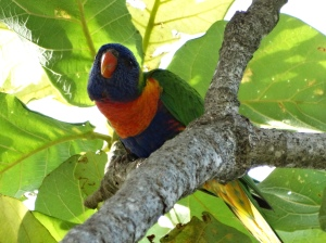 A Rainbow lorikeets in Cairns