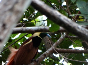 A male Ragging Bird of Paradise in a lek in Varirata National Park