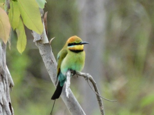 A Bee eater, one of my favorite birds here