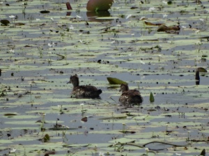 Spotted whistling ducks in a pond near the coast