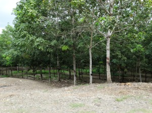 A rubber plantation