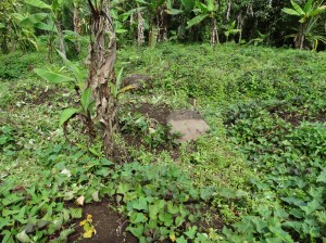 Sweet potatoes are a common crop in the Highlands, where it seemed people grew more of their own food than in other parts of PNG