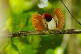 A King Bird of Paradise