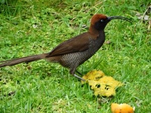 A female Brown Sicklebill Bird of Paradise at Ambua Lodge